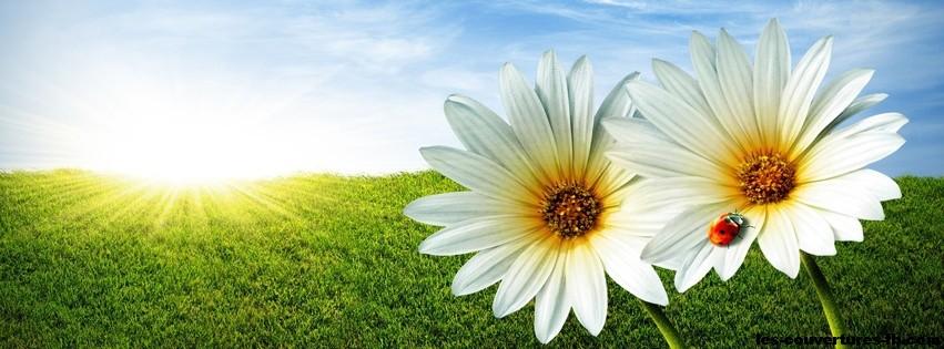 2 fleurs jaunes et blanches avec une coocinelle photo de couverture facebook. Black Bedroom Furniture Sets. Home Design Ideas